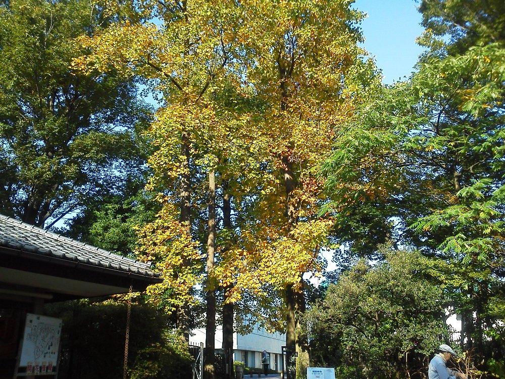 F1000105赤塚植物園10月27日ユリノキ