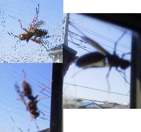 171026出窓にセグロアシナガバチ