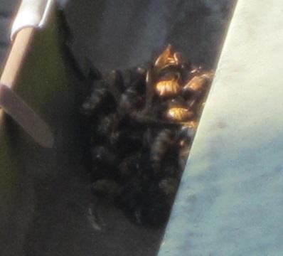 171027雨どいの蜂の死骸
