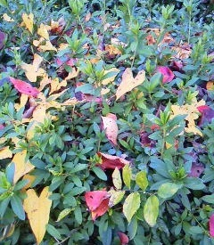 171103桜並木のつつじに蔦の黄色と桜の赤