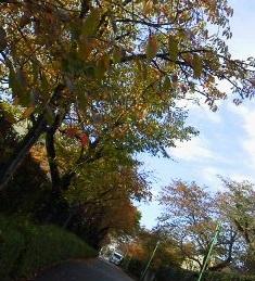 171103桜並木紅葉