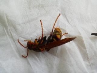 171109アシナガバチ寝室に現る