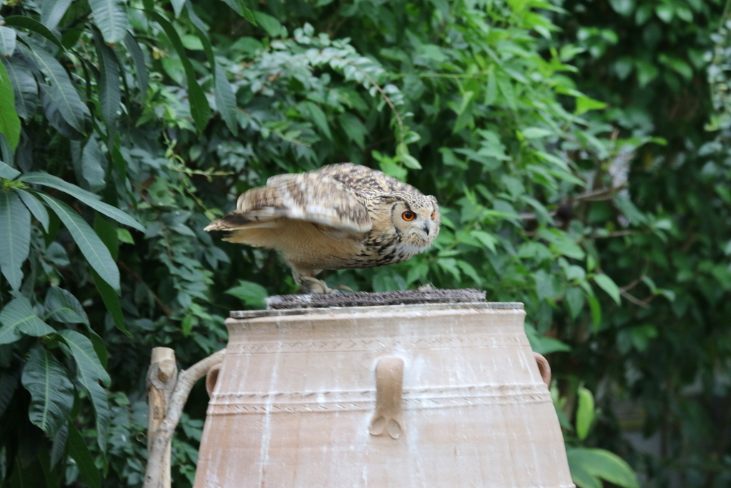 アフリカオオコノハズクのココちゃん_15