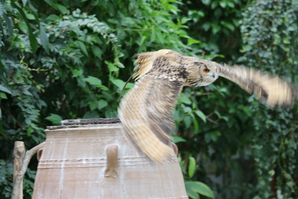 アフリカオオコノハズクのココちゃん_17