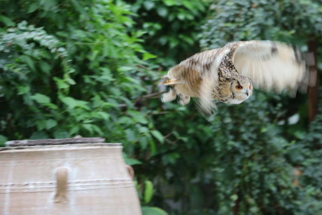 アフリカオオコノハズクのココちゃん_18