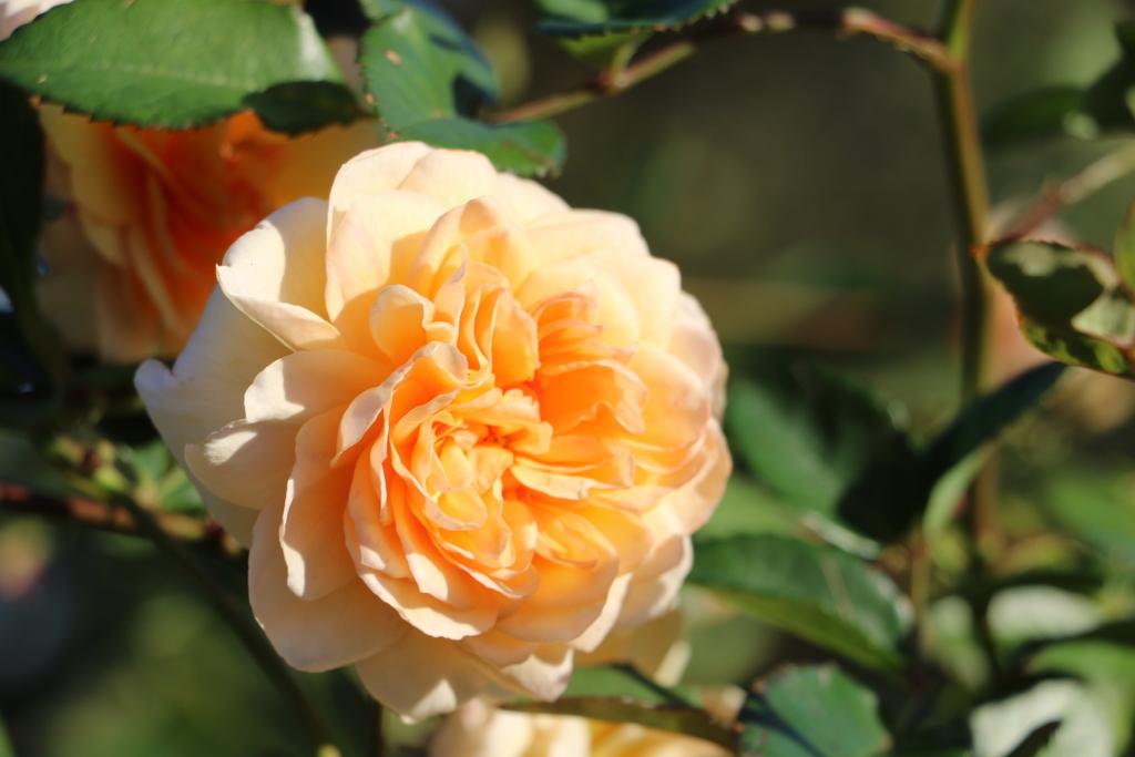 薔薇園_3