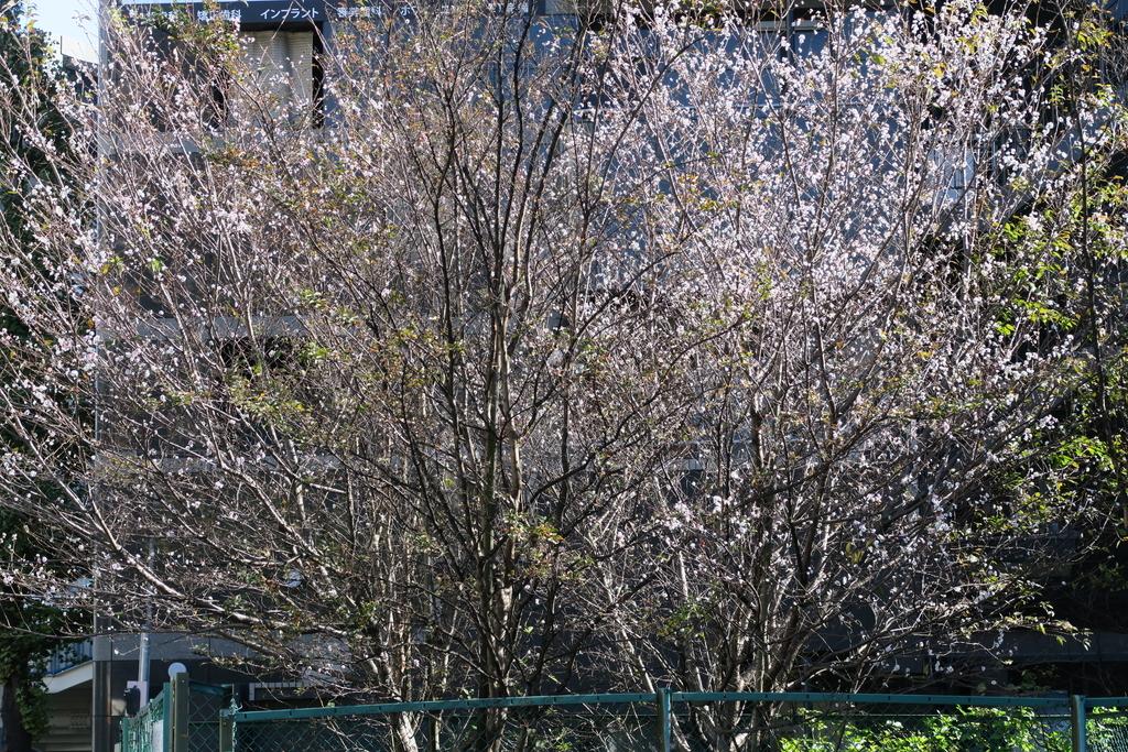 渋谷橋、渋谷川、冬桜_2