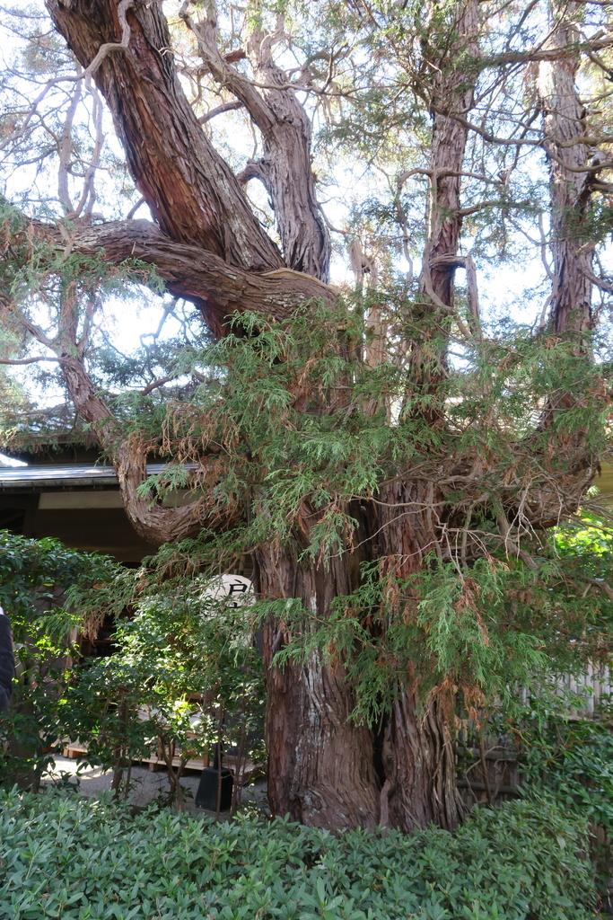 樹形の見事な木々_1