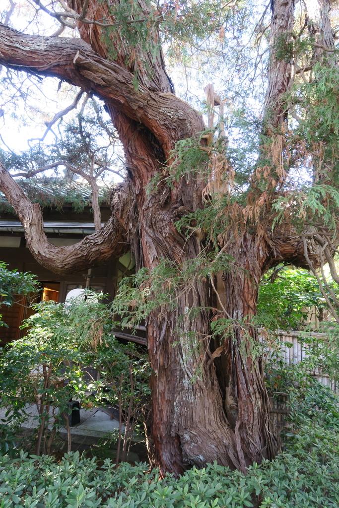 樹形の見事な木々_2