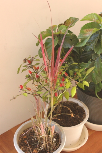 冬越し植物