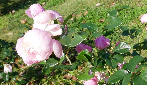 rosenmaiden.png