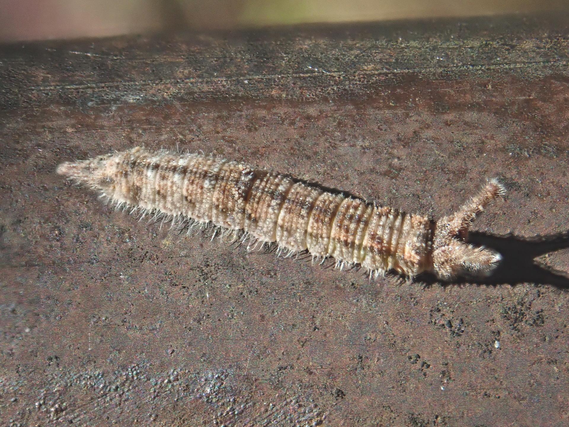 コムラサキ幼虫3