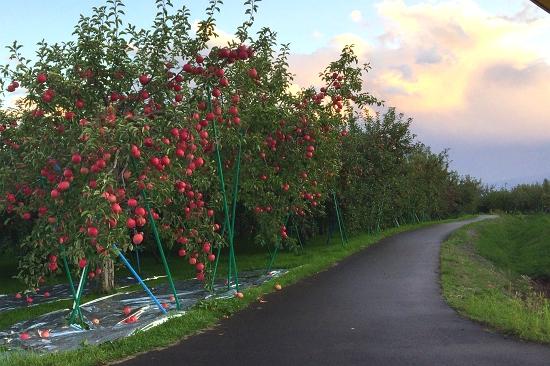 りんご路_550