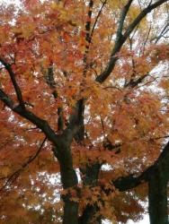 松山城の紅葉