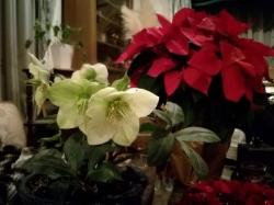 クリスマス・ローズ&ポインセチア