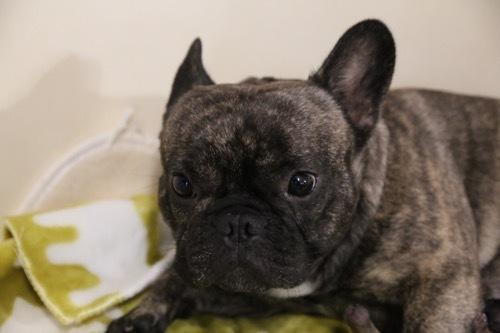 モナ 子犬 フレブル 2