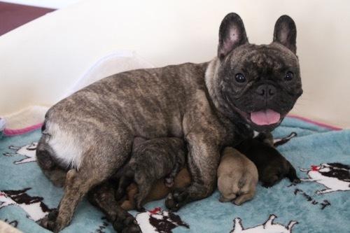 モナ2 子犬 フレブル 1