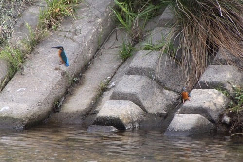 きん散歩 カワセミ 激写 3