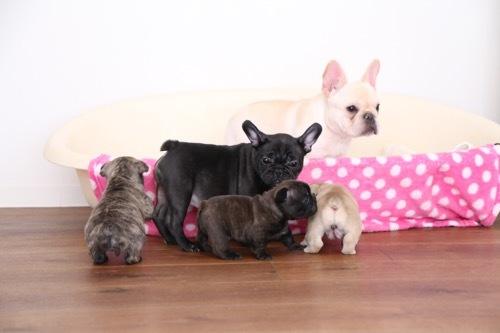 フレブル 子犬 ツキヒとビアンカ 7