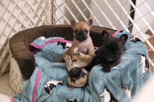 フレブル 子犬 快適BED 1