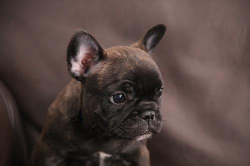 フレブル 子犬 1ヵ月記念 1