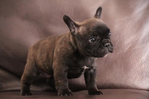 フレブル 子犬 1ヵ月記念 2