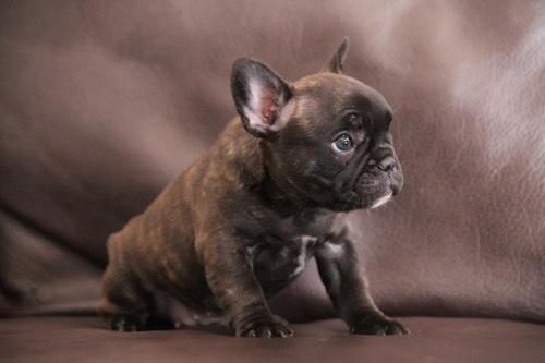 フレブル 子犬 1ヵ月記念 3