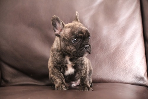 フレブル 子犬 1ヵ月記念 4