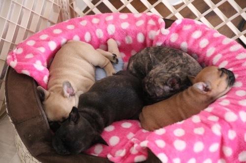 フレブル 子犬 1ヵ月記念 8