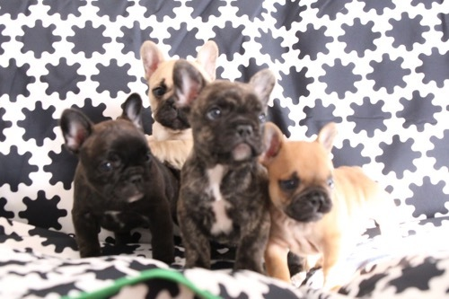 フレブル 子犬 1ヵ月記念 9