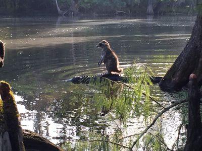 フロリダ州で見られたアライグマがワニに乗って水辺を渡る光景