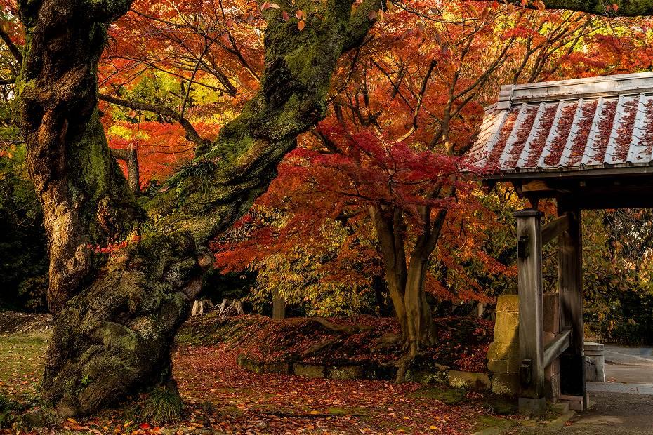 2017.11.17.金沢城の紅葉.1