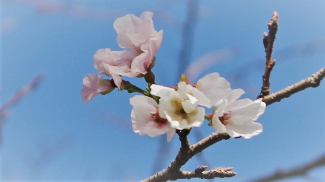 十一月の桜