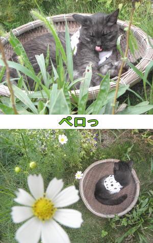 コスモスと猫