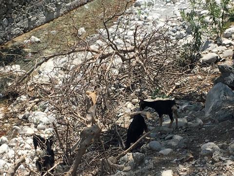 アギア・ルーメリへの途中で見かけたヤギさん