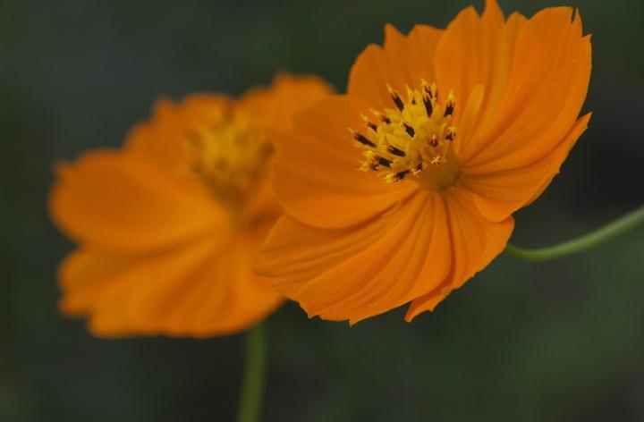 黄花コスモス-773