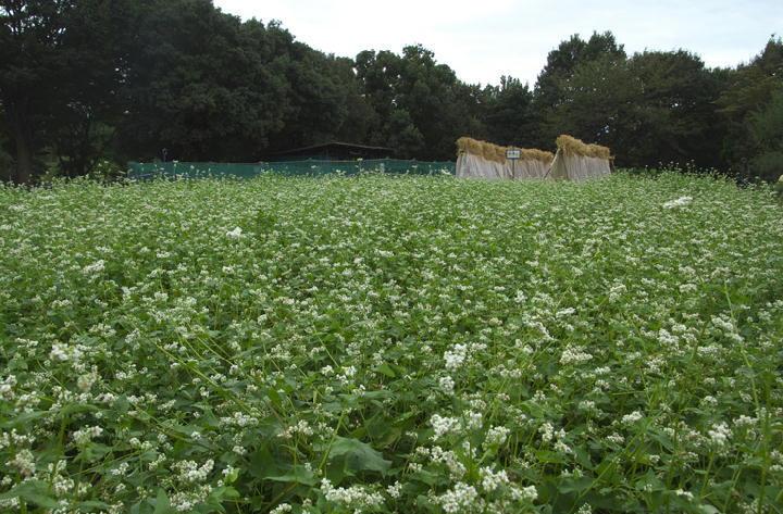 蕎麦畑-848