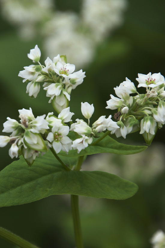 蕎麦の花-854