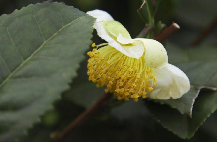 お茶の花-855