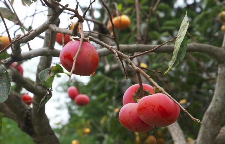 柿の実-867