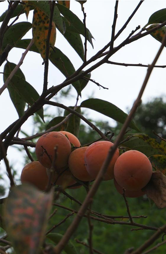 柿の実-868