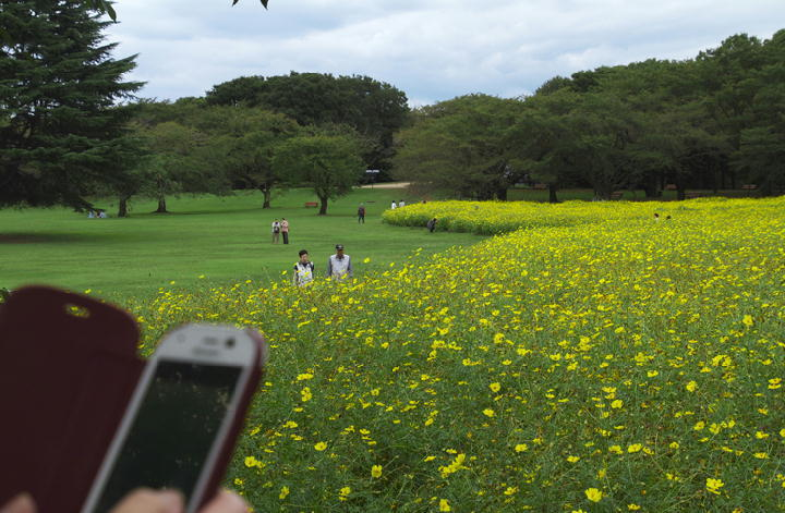 黄花コスモス-820