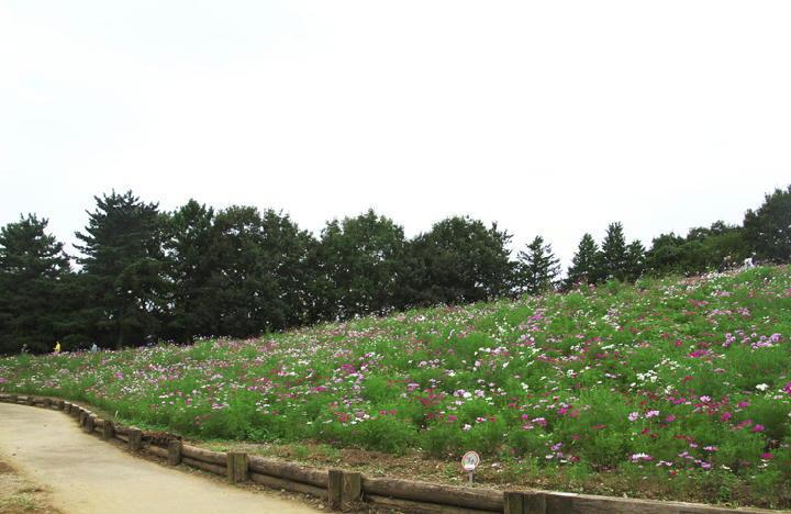 秋桜の丘-929