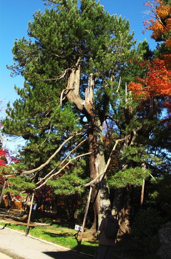 槇の巨木-555