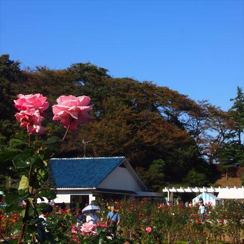 ゆうブログケロブログセテュヌボンニデーとばら苑 (8)