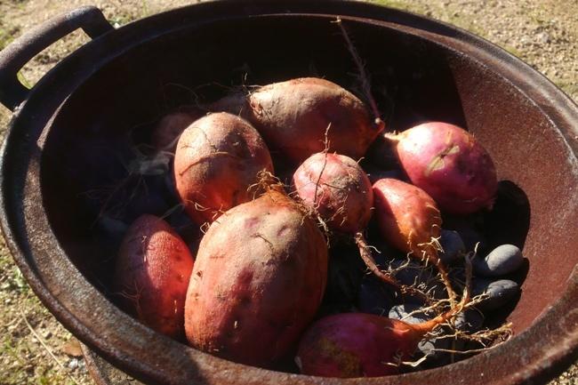 採れた安納芋を石焼