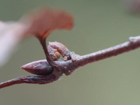 カギシロスジアオシャク幼虫2