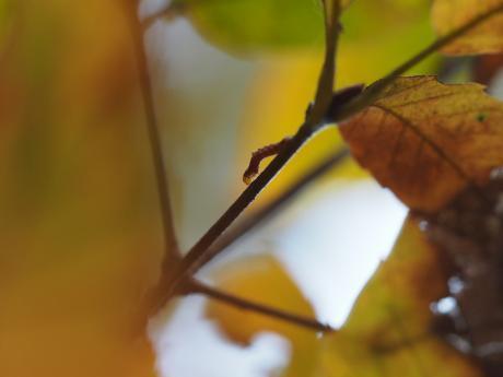 カギシロスジアオシャク幼虫