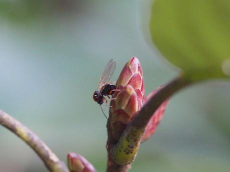 タマバチの一種か・産卵