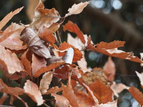 越冬ウラギンシジミ